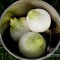 Bucket Of Onions by Wilma  Birdwell