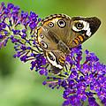 Buckeye Butterfly On Purple Flowers by Saija  Lehtonen