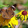Buckeye Butterfly On Sunflower by Charles Feagans