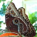 Buckeye Butterfly by Roe Rader