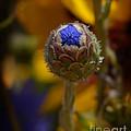 Bud Blooming by Lj Lambert