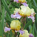 Budding Iris by Iris Prints