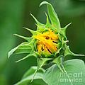Budding Sunflower by Nancy Mueller
