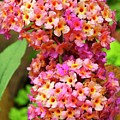 Buddleja Sp. Plant In Flower by Ian Gowland/science Photo Library