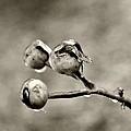 Buds On Ice II by Bonnie Myszka
