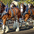 Budweiser Clydesdales by Jon Berghoff