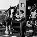 Budweiser Clydesdales Los Vaqueros Rodeo Parade Tucson Arizona 1984 by David Lee Guss
