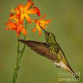 Buff-tailed Coronet Hummingbird No 1 by Jerry Fornarotto