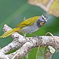 Buff-throated Saltador by Mike Dickie