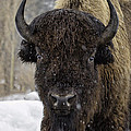 Buffalao In Snow by Susi Stroud