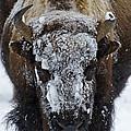 Buffalo #0057 by J L Woody Wooden