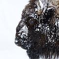 Buffalo   #0164 by J L Woody Wooden