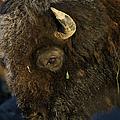 Buffalo   #5601 by J L Woody Wooden