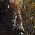 Buffalo   #9242 by J L Woody Wooden