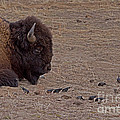 Buffalo And Birds   #2236 by J L Woody Wooden