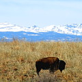 Buffalo And The Rocky Mountains by Amy McDaniel