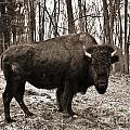Buffalo Bill by Keri West