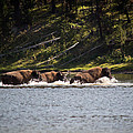 Buffalo Crossing - Yellowstone National Park - Wyoming by Diane Mintle