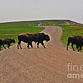 Buffalo Crossing by John Malone