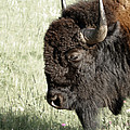 Buffalo by Ernie Echols