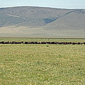 Buffalo Herd by Tony Murtagh