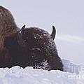 Buffalo In Snow   #6920 by J L Woody Wooden