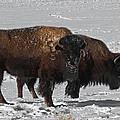 Buffalo In Snow by Ernie Echols