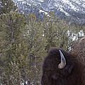 Buffalo In The Mountain   #4169 by J L Woody Wooden