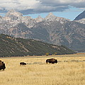 Buffalo In The Tetons by G Berry