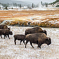 Buffalo In Yellowstone by Pierre Leclerc Photography