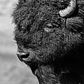 Buffalo by Kimberly Mitchell