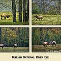 Buffalo National River Elk by Priscilla Burgers