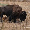 Buffalo Of Antelope Island Iv by Donna Greene