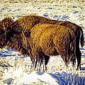 Buffalo Painting by Alan Hutchins
