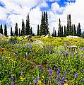 Buffalo Pass Colorado Wildflowers by Jeff Black