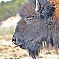 Buffalo Tongue by SC Heffner