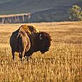 Buffalo Watching by Mary Kay Thompson