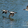 Bufflehead Duck Trio In Flight by Anthony Mercieca