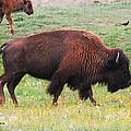 Buffalo Mom by Tom Janca