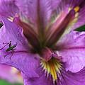 Buggy Iris by Valerie Loop