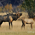 Bugling Elk With Calf by Nava Thompson