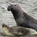 Bull Approaches Cow Seal by Mark Newman