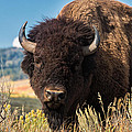 Bull Bison by Kathleen Bishop