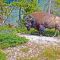 Bull Bison Near Mud Volcanoes In Yellowstone National Park-wyoming by Ruth Hager