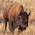 Bull Bison Running In Yellowstone National Park by Fred Stearns