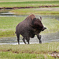 Bull Bison Shaking In Yellowstone National Park by Fred Stearns