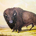 Bull Buffalo by George Catlin