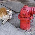 Bull Dog And The Fire Hydrant Standoff by Linda Matlow