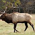 Bull Elk by Al Gleason