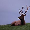 Bull Elk At Dusk by Bruce J Robinson